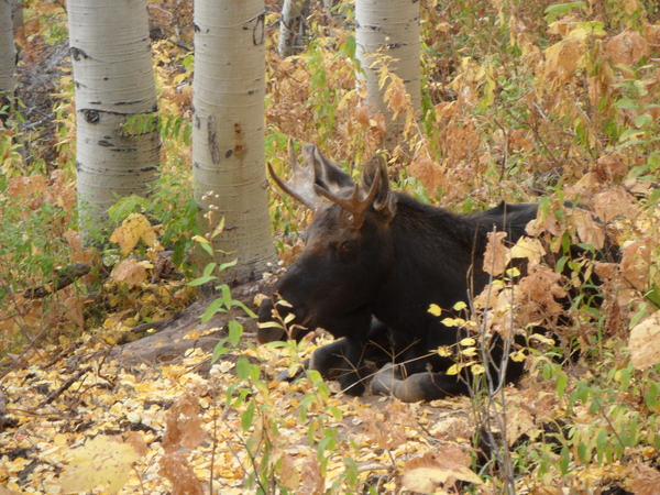 Small Moose on 4 Oct 2015 taken on Pioneer Ridge
