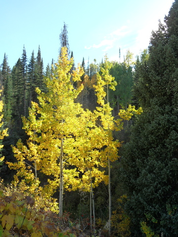 sun-splashed aspen from pony on 25 sep 2014